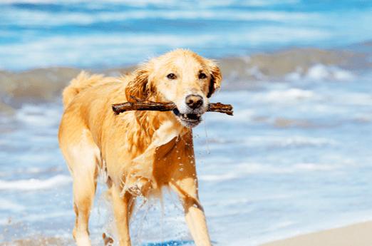 Summer Fun for Plantation Bay Dog Owners - summer dog
